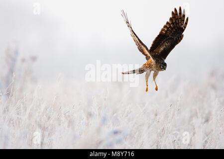 Juveniele Blauwe Kiekendief in de vlucht; Juvenile Hen Harrier in flight - Stock Photo