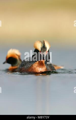 Paartje Kuifduikers in zomerkleed; Pair of Horned Grebes in summer plumage - Stock Photo