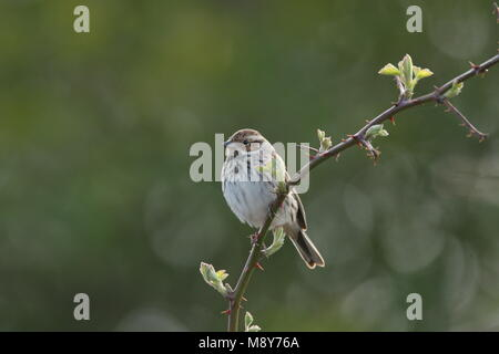 Dwerggors volwassen zittend op tak; Little Bunting adult perched on branch - Stock Photo