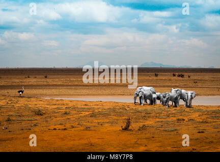 White elephants near a pool of water together with an ostrich, in Tsavo National Park in Kenya, Africa - Stock Photo