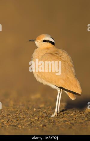 Cream-coloured Courser - Rennvogel - Cursorius cursor ssp. cursor, Morocco, adult - Stock Photo