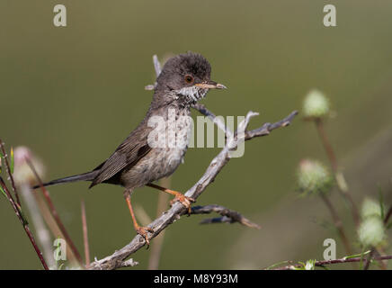 Vrouwtje Cyprusgrasmus, Famale Cyprus Warbler - Stock Photo