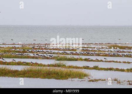 Eurasian Oystercatcher - Austernfischer - Haematopus ostralegus ssp. ostralegus, Germany - Stock Photo