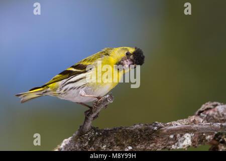 Eurasian Siskin - Erlenzeisig - Carduelis spinus, 2nd cy male, Germany - Stock Photo