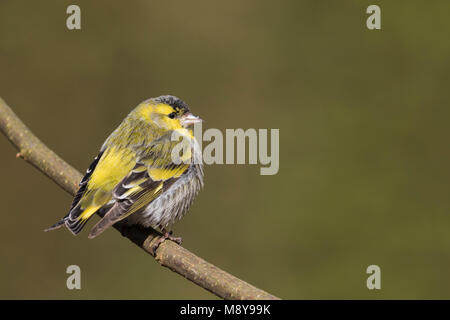 Eurasian Siskin - Erlenzeisig - Carduelis spinus, adult male, Germany - Stock Photo