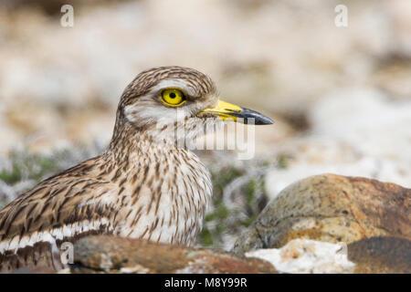 Eurasian Stone-Curlew - Triel - Burhinus oedicnemus ssp. saharae, Cyprus, adult - Stock Photo