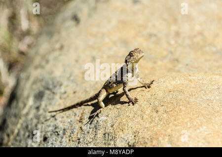 A southern rock agama (Agama atra) on a rock at the Valley Of Desolation, South Africa - Stock Photo