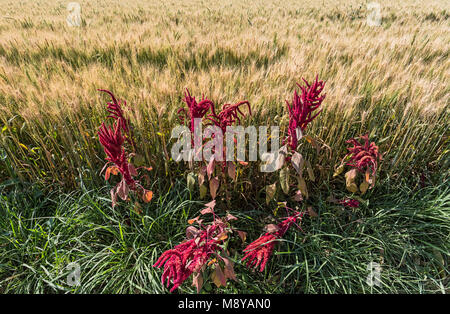 wheat field in Nimbahera - Rajasthan, India - Stock Photo