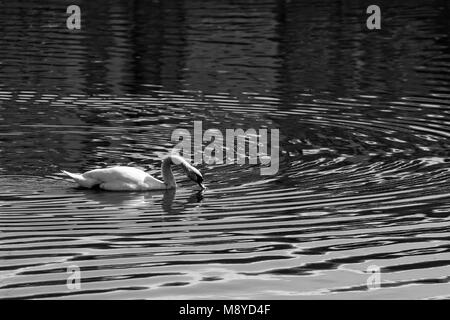 Black and white photo of a swan gracefully swimming along a lake in Romania - Stock Photo