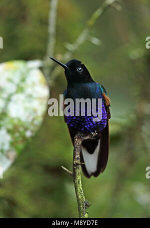 Velvet-purple Coronet (Boissonneaua jardini) adult perched on twig  Vinicio Birdwatcher's House, Nono-Mindo Road, - Stock Photo