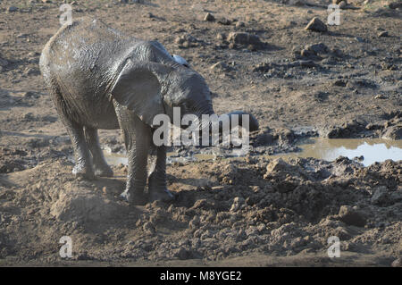 A baby elephant playing in mud in Kruger National park - Stock Photo