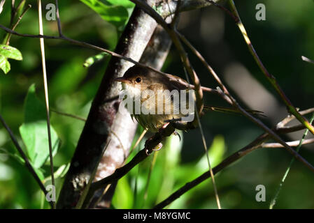 An Australian, Queensland Female Red-backed Fairy-wren, Malurus melanocephalus hiding in a thick Bush - Stock Photo
