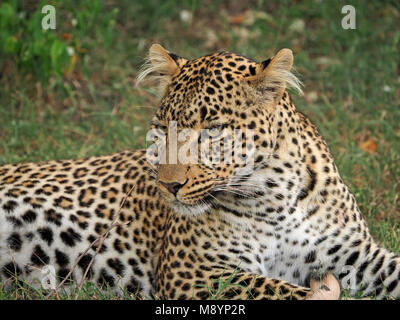 Fig the female leopard (Panthera pardus) with distinctive hairy ears resident in Olare Motorogi conservancy Masai - Stock Photo