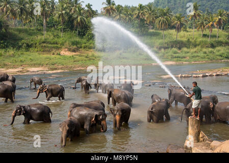 Sri Lankan elephants from the Pinnawala Elephant Orphanage bathing in the river while being sprayed with water.. - Stock Photo