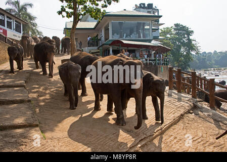 Sri Lankan elephants being taken through the streets of Pinnawala Village down to the river to bathe with tourists - Stock Photo