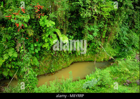 Lush, tropical plants surround a small pond of collected rain in Costa Rica's Tirimbina Biological Reserve. - Stock Photo