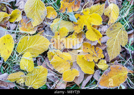 Frosted Bigtooth Aspen & Mulberry leaves, late Autumn, Fort Snelling SP, MN, USA, by Dominique Braud/Dembinsky Photo - Stock Photo