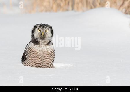 Northern Hawl Owl (Surnia ulula), St. Louis County, MN, USA, January, by Dominique Braud/Dembinsky Photo Assoc - Stock Photo