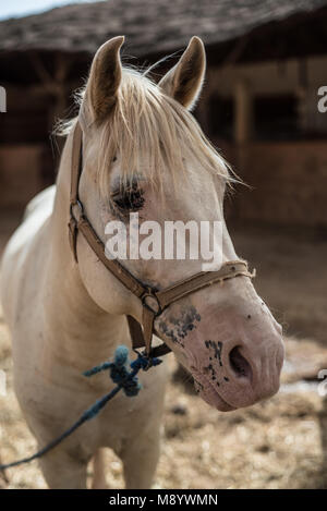Portrait of a white/blonde horse. - Stock Photo