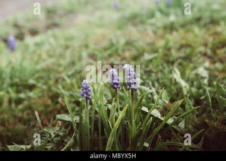 Blue spring flower, grape hyacinth in green grass in garden (Muscari armeniacum) in spring. Shallow depth of field. - Stock Photo