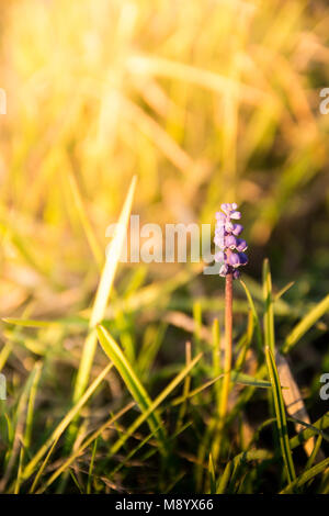 Blue spring flower, grape hyacinth in green grass in garden (Muscari armeniacum) with bright sunlight. Shallow depth - Stock Photo