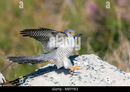Probable male Eastern Common Cuckoo landing on a stone in Atyrau, Kazakhstan. May 30, 2017. - Stock Photo