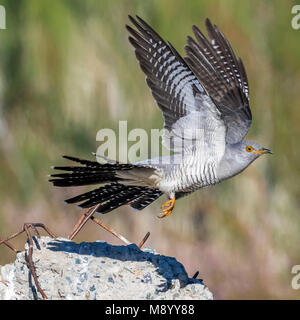 Probable male Eastern Common Cuckoo take off from a stone in Atyrau, Kazakhstan. May 30, 2017. - Stock Photo