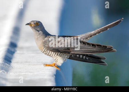 Probable male Eastern Common Cuckoo perched on a stone in Atyrau, Kazakhstan. May 30, 2017. - Stock Photo