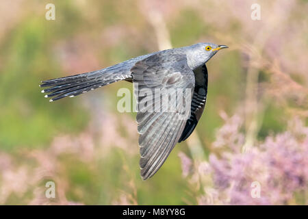 Probable male Eastern Common Cuckoo flying in Atyrau, Kazakhstan. May 30, 2017. - Stock Photo