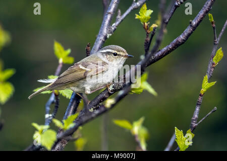 Yellow-browed Warbler perched on a branch in Ural Ridge, Russian Federation. June 2016. - Stock Photo