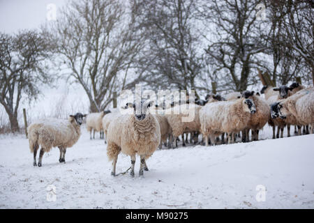 White sheep huddled together sheltering from a snow storm, Chipping Campden, The Cotswolds, Gloucestershire, England, - Stock Photo