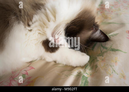 In a deep sleep on a comfortable bed - English Ragdoll female cat in UK - Stock Photo