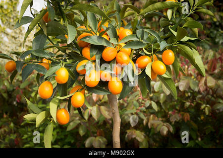 Fruit on a small Kumquat tree growing in a small English garden in May in UK - Stock Photo