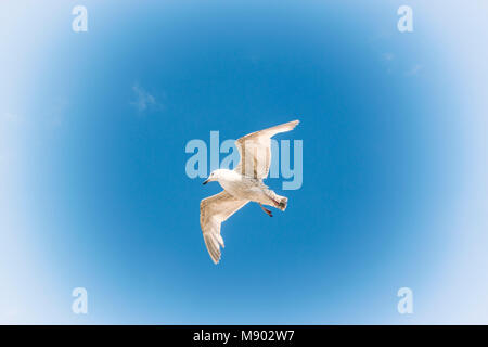 Lone seagull in flight against blue sky. - Stock Photo