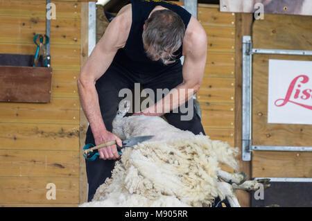 The traditional way to shear sheep at the Royal Cornwall Show June 2015 - Stock Photo