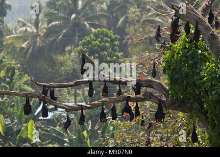 A colony group of Megabats or fruit bats (Pteropodidae) at roost roosting asleep in a tree in Sri Lanka on a sunny - Stock Photo