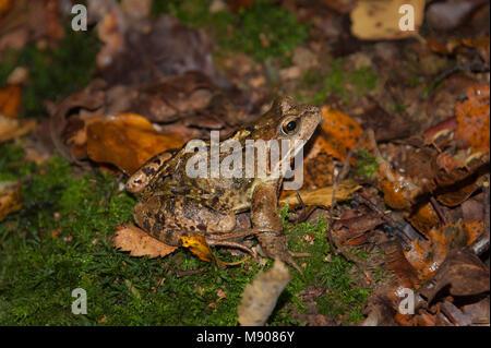 A single european grass frog (Rana temporaria) in France - Stock Photo