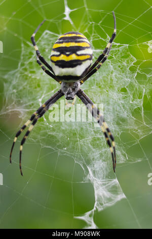 Spider-Wasp hangs on the web upside down - Stock Photo