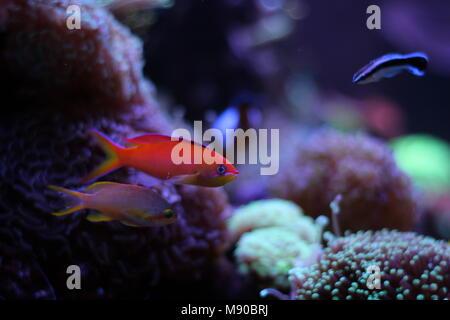 Anthias fish in reef tank - Stock Photo