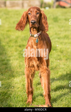 An Irish Setter puppy looks at the camera pausing from chewing a bone in the backyard - Stock Photo