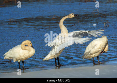 A tundra swan between two other swans is flapping its wings in north Idaho. - Stock Photo