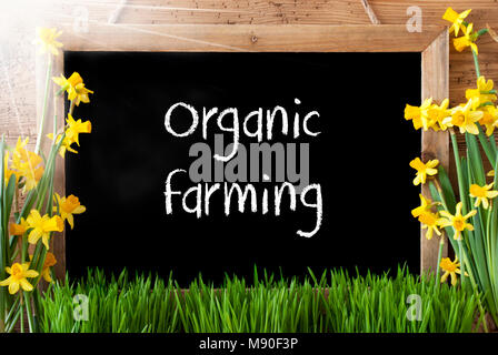 Blackboard With English Text Organic Farming. Sunny Spring Flowers Nacissus Or Daffodil With Grass. Rustic Aged - Stock Photo