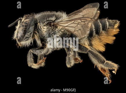 Bee.  Megachile mendica, F, Side, TN, Polk County, floral species Pityopsis - Stock Photo
