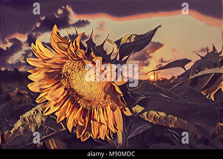 Drawing of sunflower in field at sunset - Stock Photo