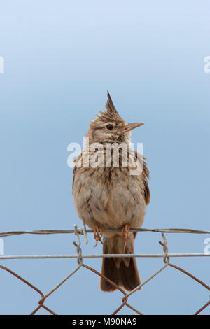 Kuifleeuwerik zittend op hek Lesbos Griekenland, Crested Lark perched at fence Lesvos Greece - Stock Photo