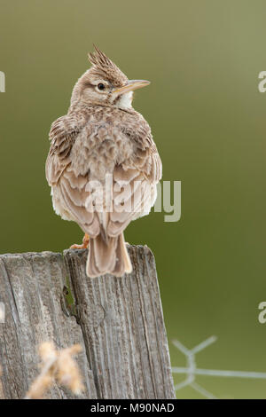 Kuifleeuwerik zittend op houten paal Lesbos Griekenland, Crested Lark perched at wooden pole Lesvos Greece - Stock Photo