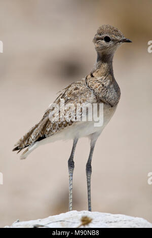 Dubbelbandrenvogel staand op steen Namibie, Double-banded Courser at stone Namibia - Stock Photo