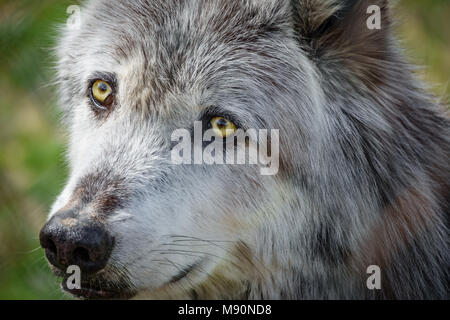 Canadian wolf head behind fence - Stock Photo