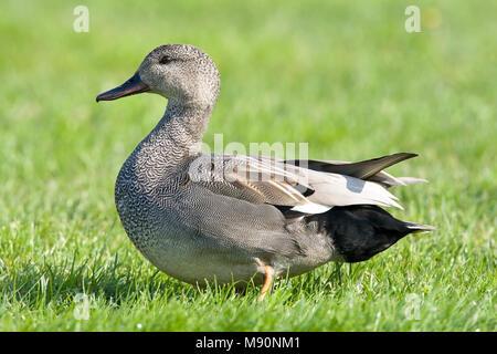 Mannetje Krakeend in weiland Nederland, Male Gadwall in grassland Netherlands - Stock Photo
