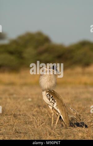 Koritrap baltsend Namibie, Kori Bustard displaying Namibia - Stock Photo